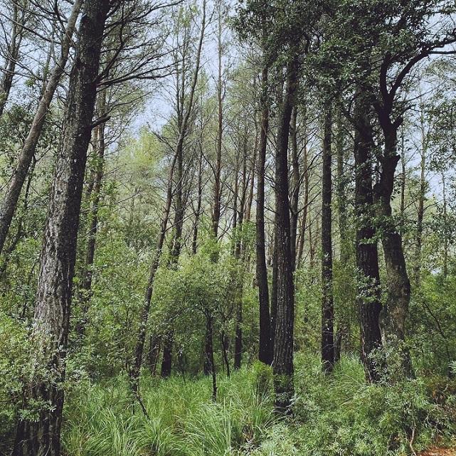Evergreen Oak L.A.
